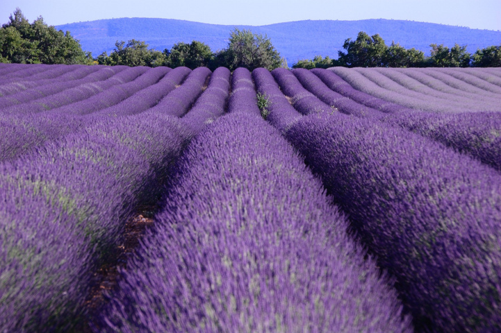 Vanessa Johansson gets her inspiration comes from Lavender