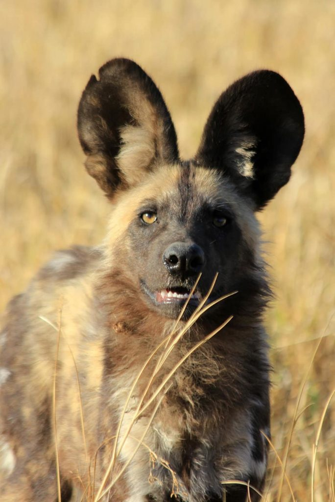 Sable Alley African Wild Dog Pup - image by Heléne Ramackers
