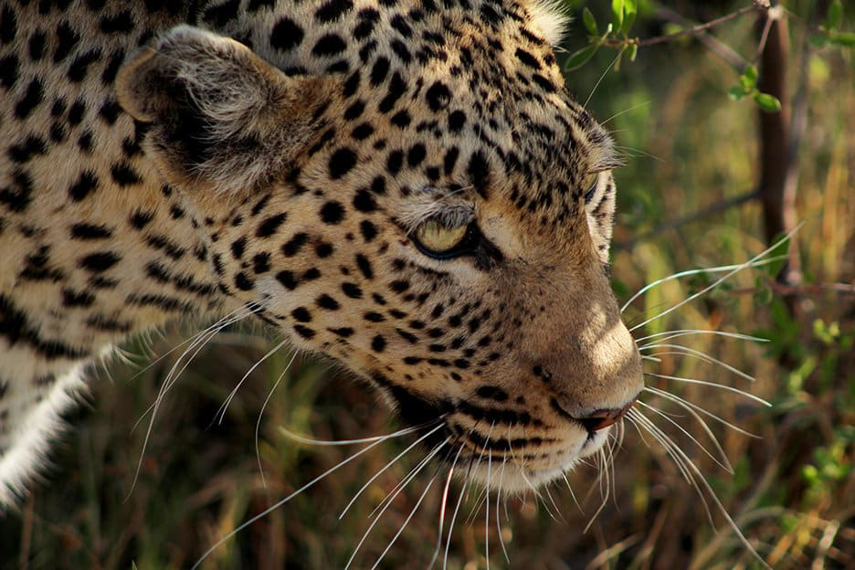 Sable Alley leopard