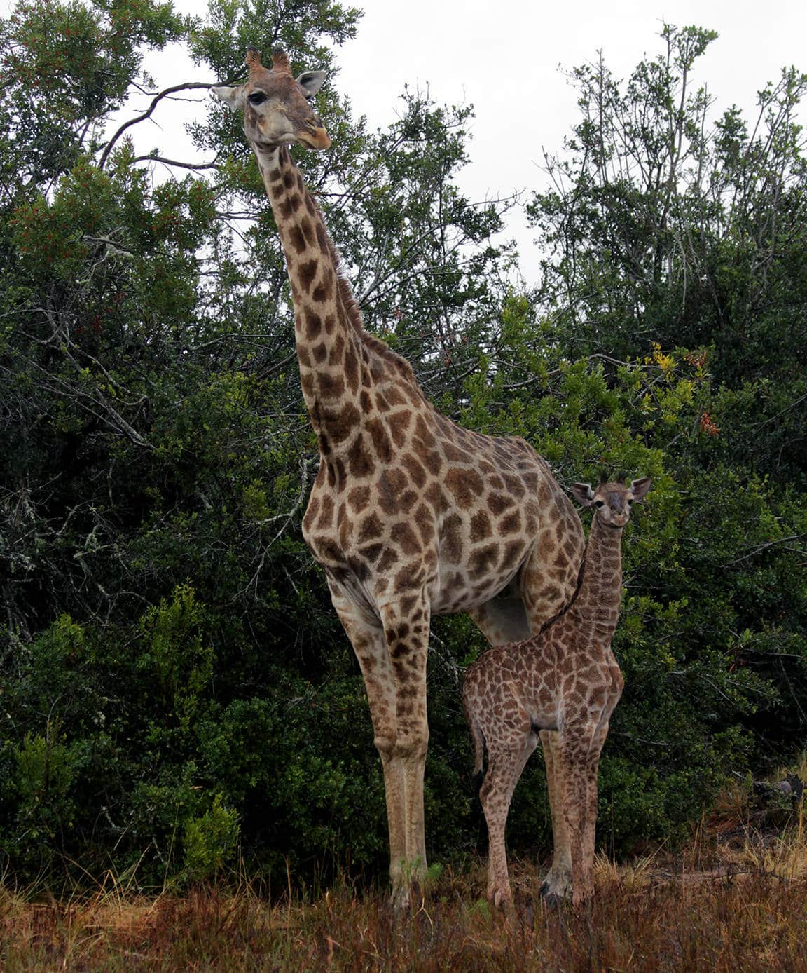 Inzolo Exclusive Game Lodge giraffe and baby
