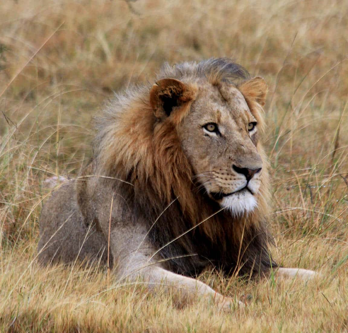 Inzolo Exclusive Game Lodge lion