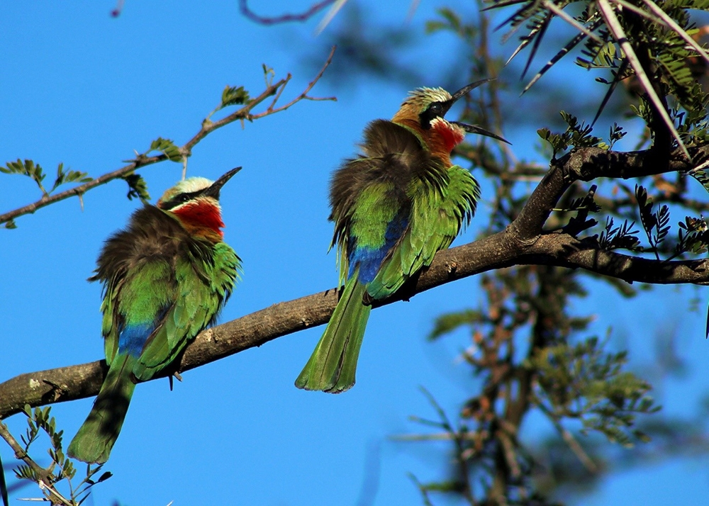 The White-fronted Bee-eater