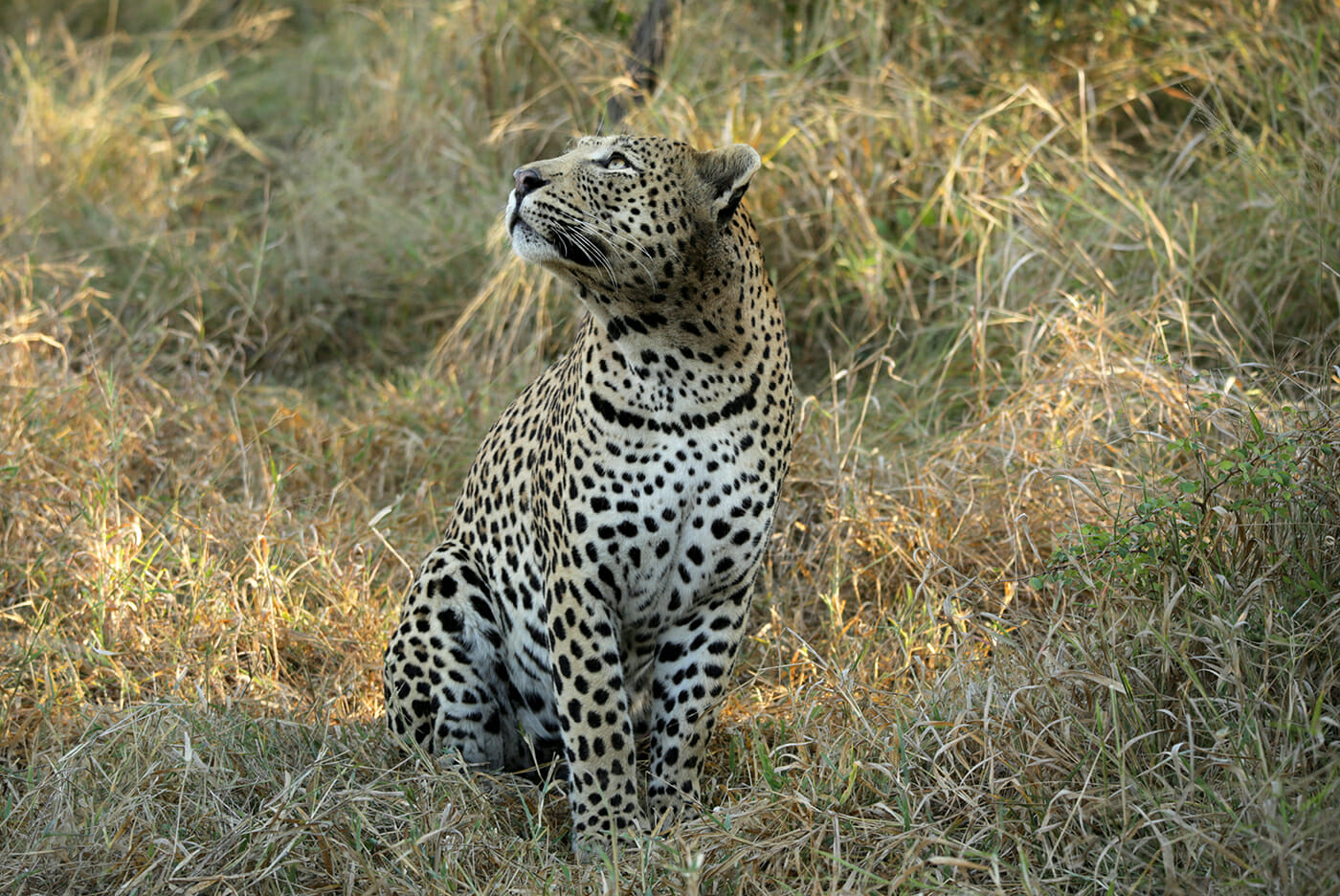 A stunning male leopard taking an early morning stroll. Image by Heléne Ramackers