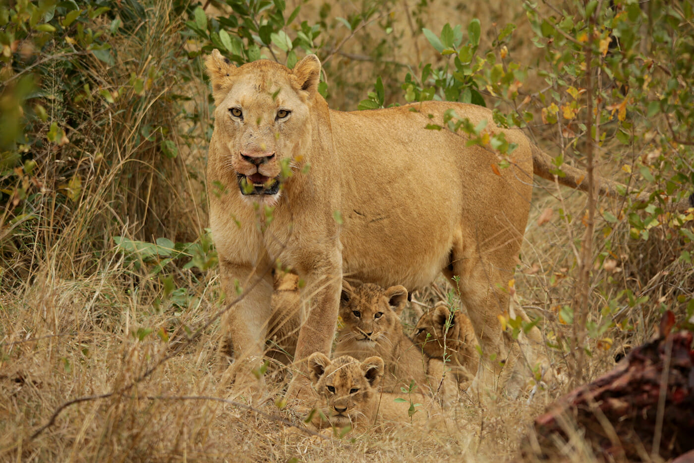 A female lioness is at her wits end with lots of hungry mouths to feed. Photo by Heléne Ramackers