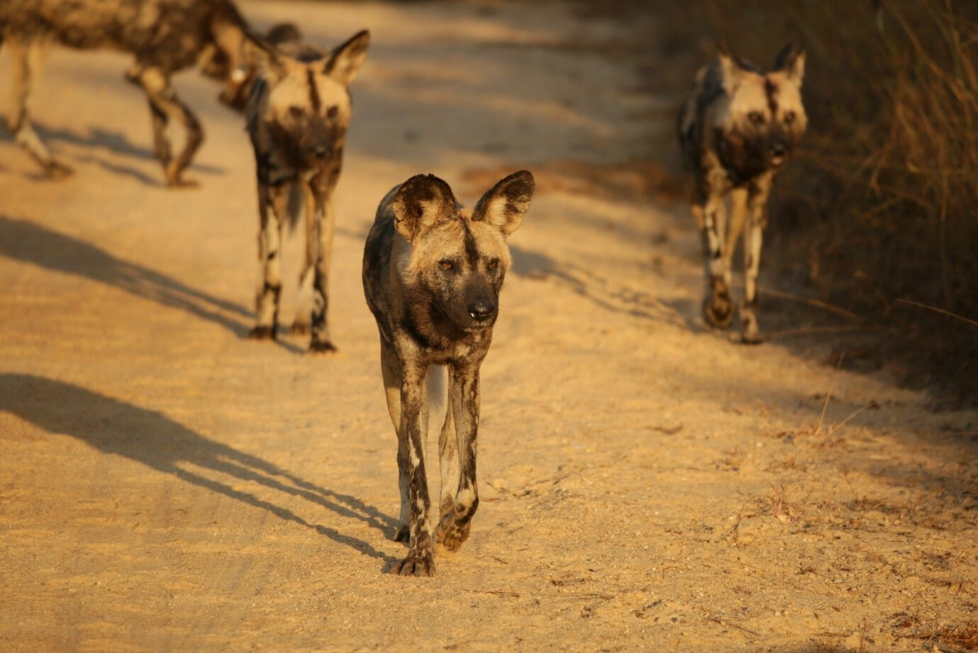 Game drives form part of your stay at Kruger Shalati. We found a playful pack of African wild dogs on our morning safari. Photo by Heléne Ramackers