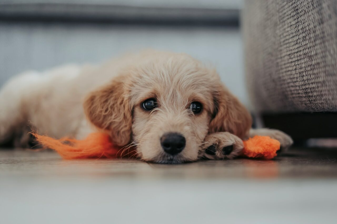 8 Reasons Why You Should Consider Getting a Labradoodle