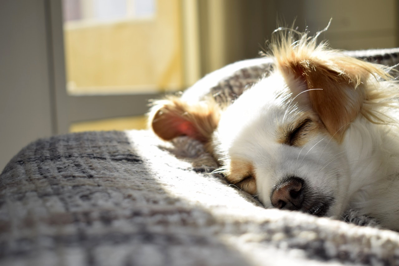 preventing fleas on your dog