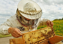 Beekeeper lifting shelf out of hive