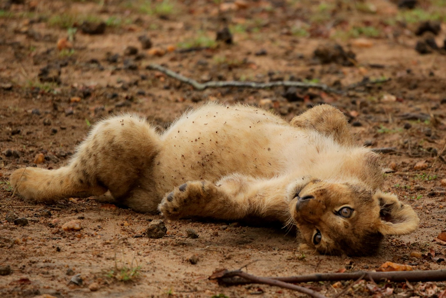 Excessive drinking leads to a round stomach for this lion cub.  Photo by Heléne Ramackers
